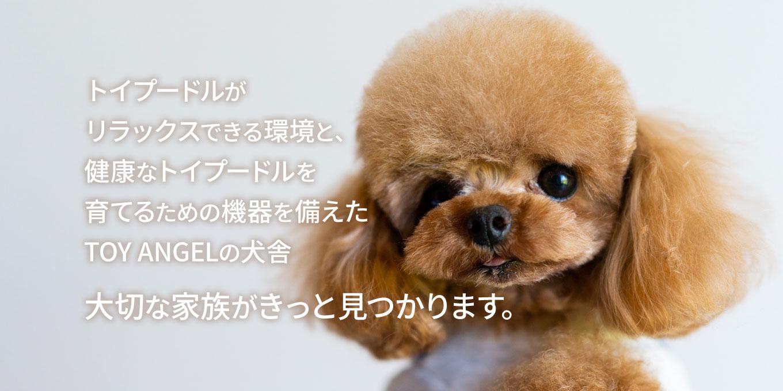プードル 子犬 トイ