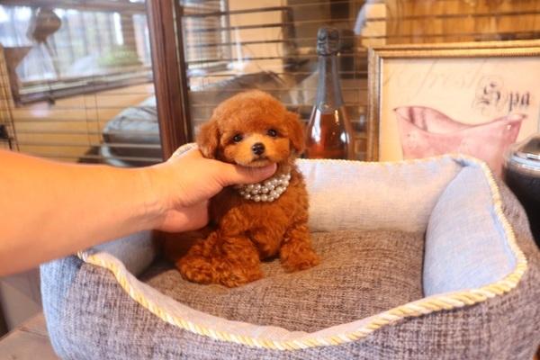 トイプードルってどんな犬? トイプードルあるあるをたくさん紹介しちゃいます!