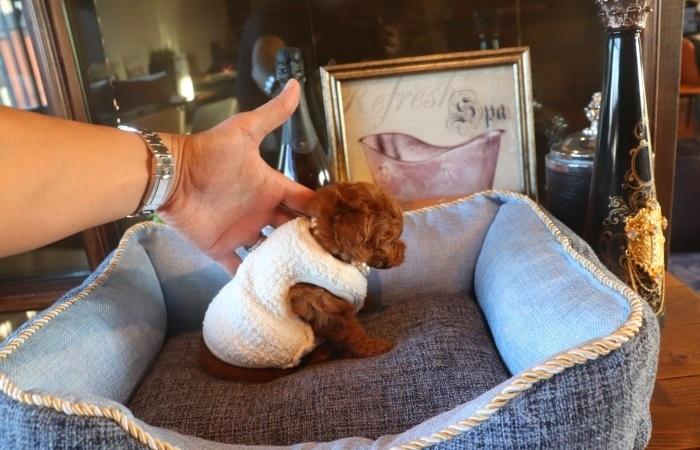 ティーカッププードル予想レッド女の子♥10月25日生まれのサムネイル